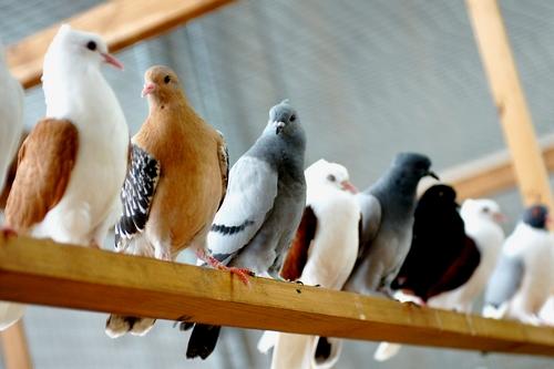 İşte Güvercinler